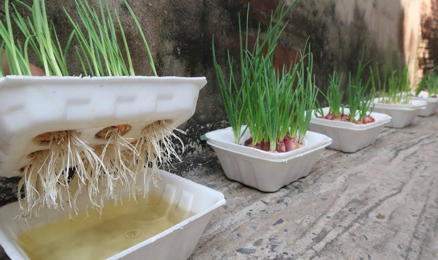 Ideia brilhante | Como cultivar cebola e alho em caixa de isopor para iniciantes